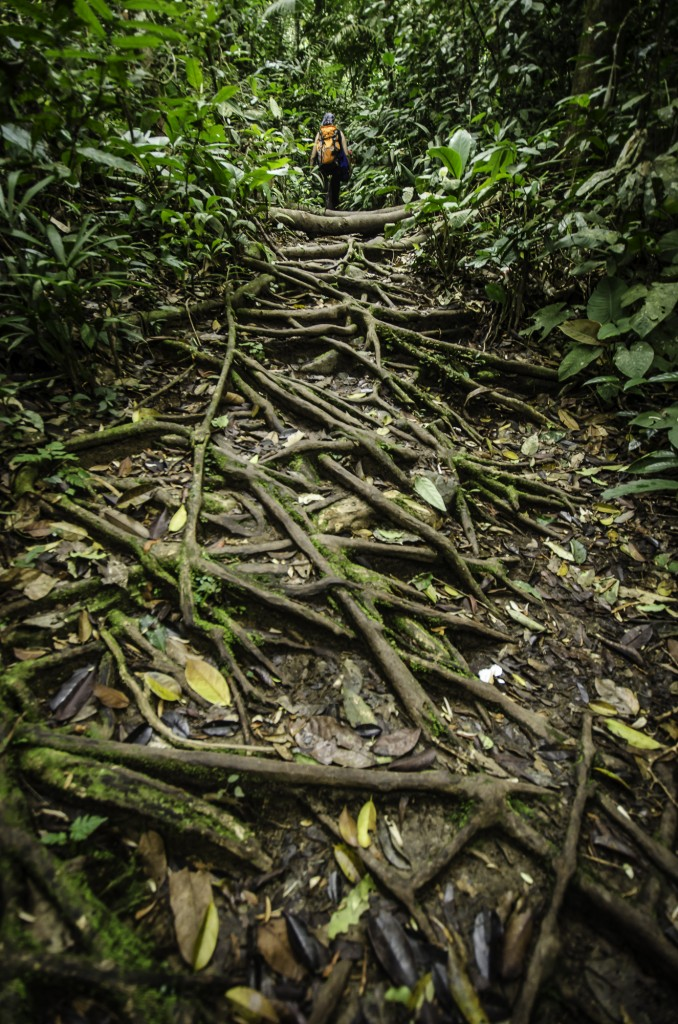 Roots Covering the Nuang Trail