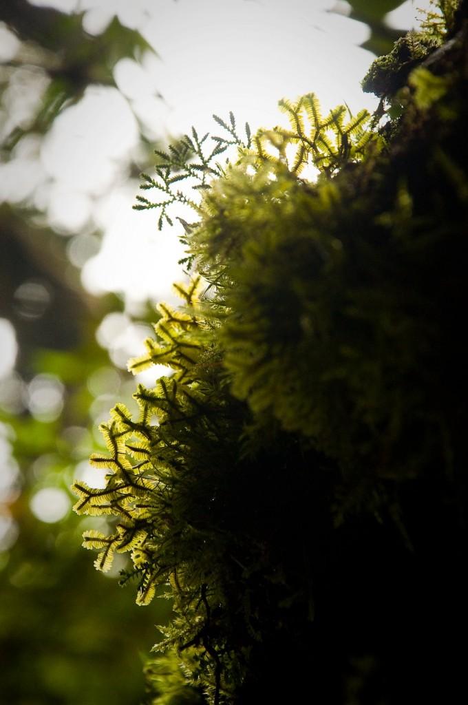 Brinchang Moss