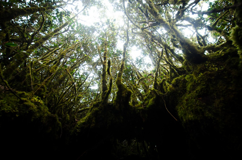 Irau's mossy Forest
