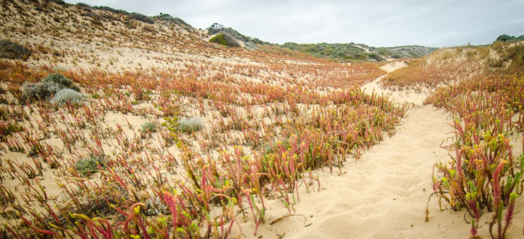 Sea Spurges