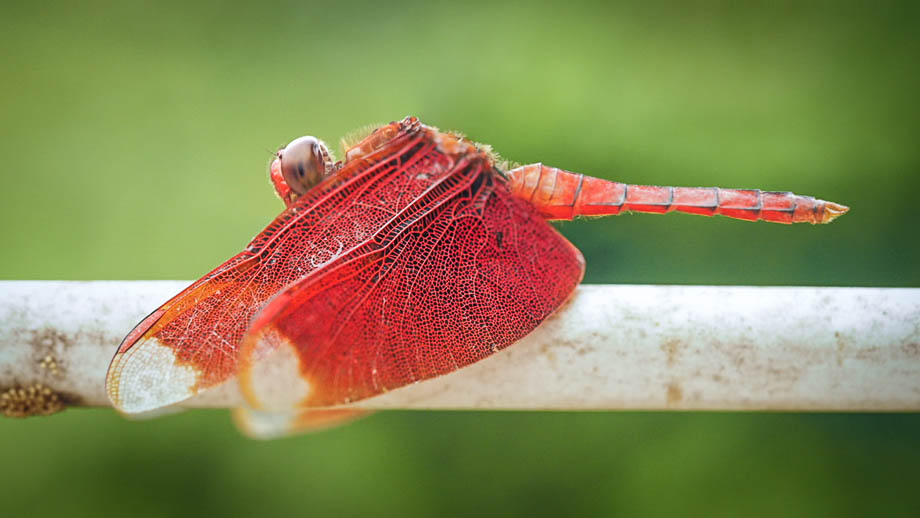 A male Fulvous Forest Skimmer