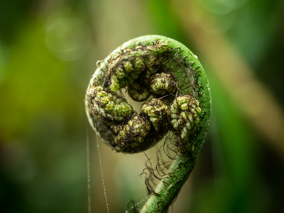 Circinate vernation of a Nuang fern