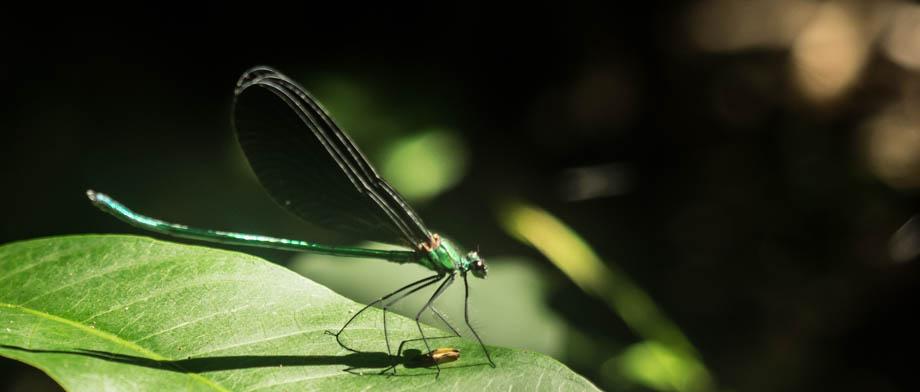 Matrona nigripectus