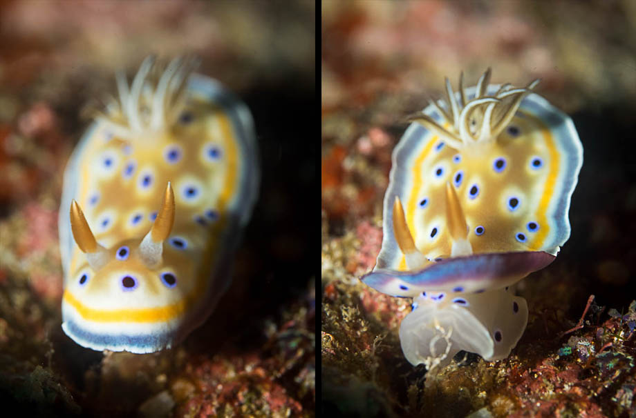 Gem sea slugs in Weh Island
