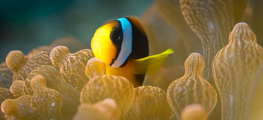 A yellowtail clownfish in Weh Island