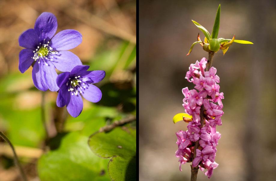 Liverwort & Mezereon flowers