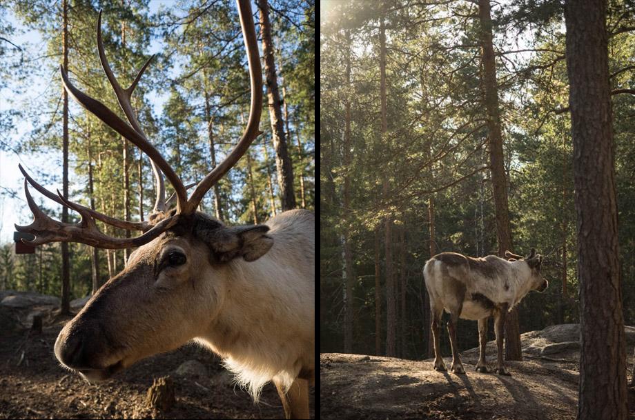 Nuuksio's reindeers