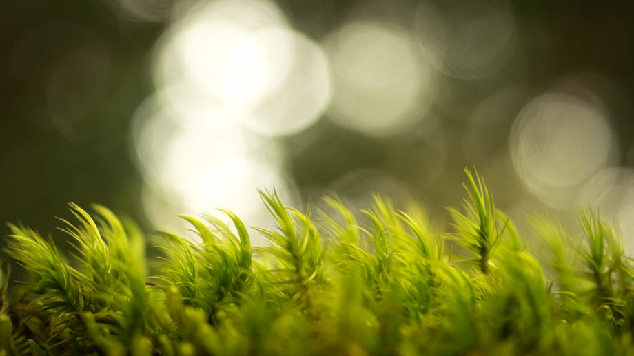 Berembun Moss