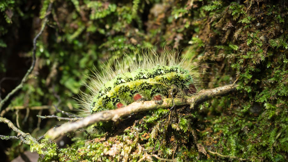Berembun Caterpillar