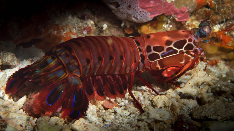 Komodo mantis shrimp