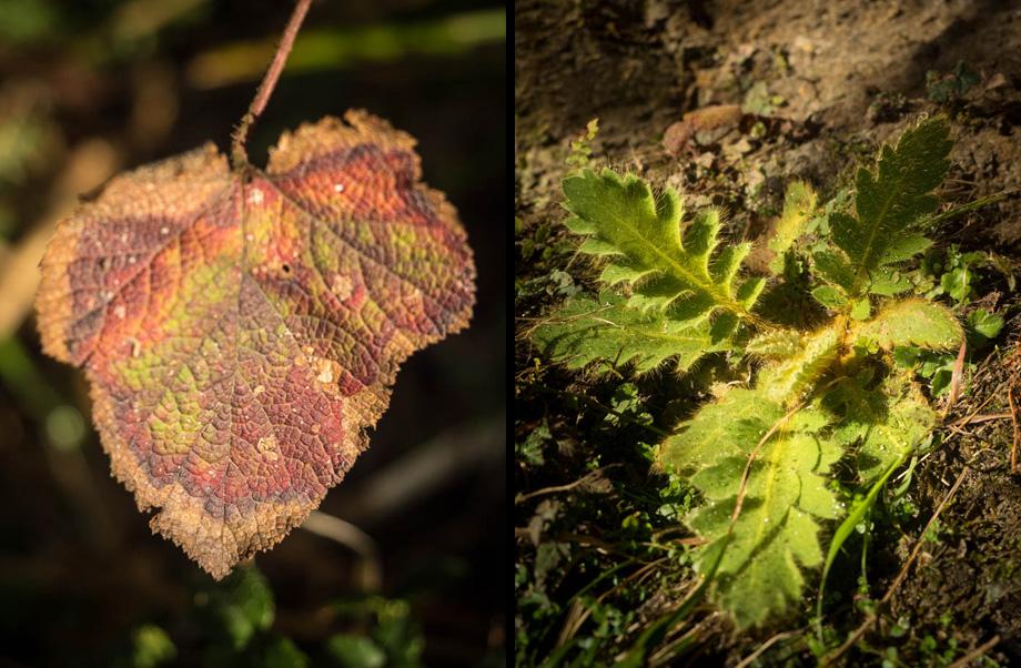 Deurali plants