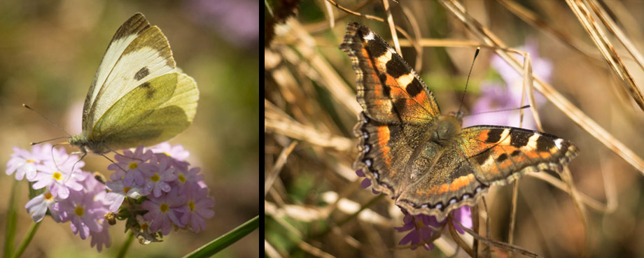Butterflies along the way to Deurali
