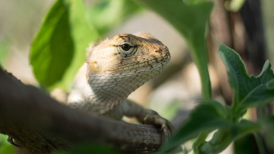 pokhara lizard