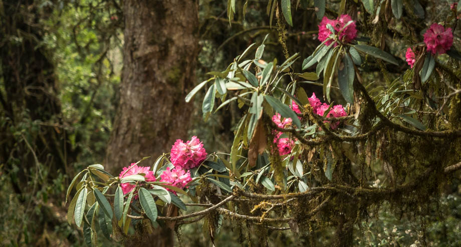 ghorepani rhododendrons
