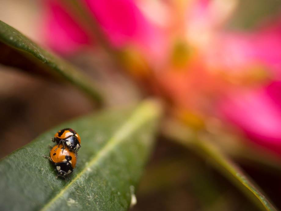 ghorepani ladybirds