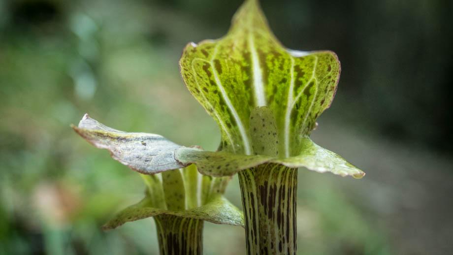 Deurali lilies