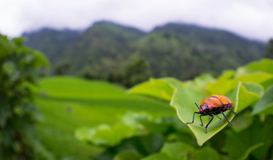 beetle on the way to srichaur