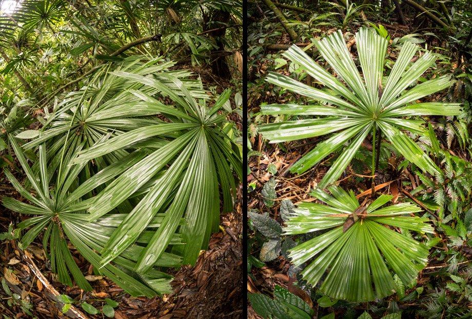 Mangrove fan palm