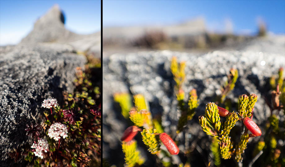alpine shrubs