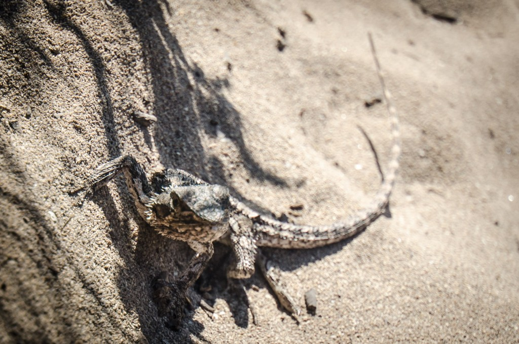 The Western Bearded Dragon