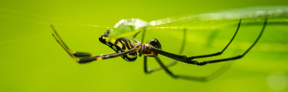 Tessellated Orchard Spider