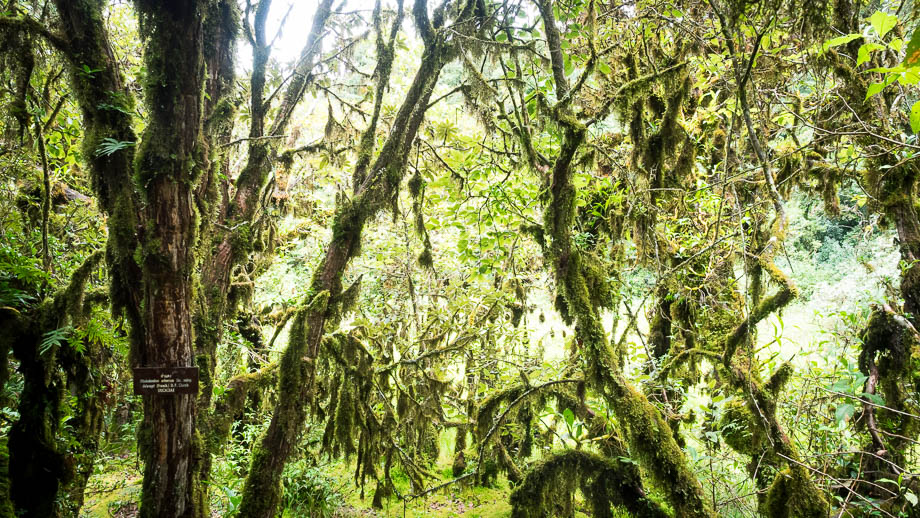 The mossy forest of Doi Inthanon