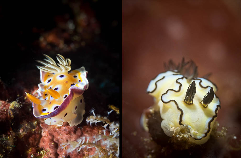Nudibranchs in Weh Island