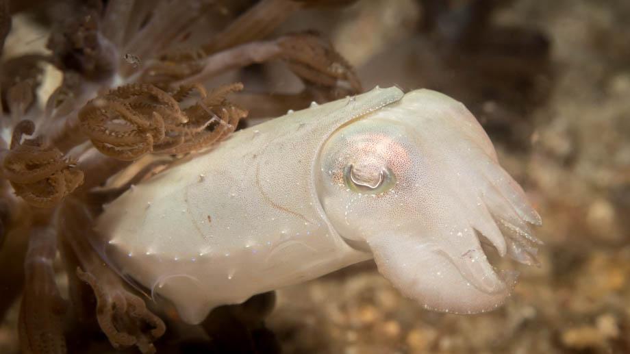 Komodo cuttlefish