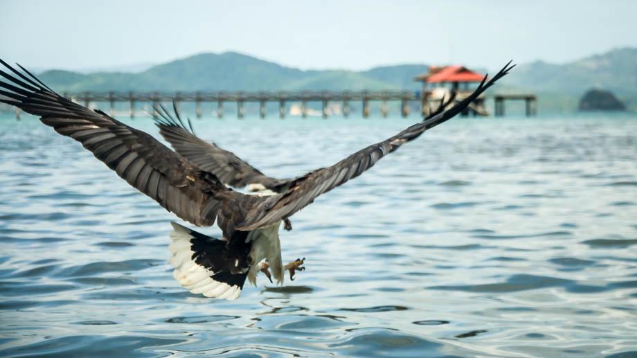 Sea eagles of Langkawi