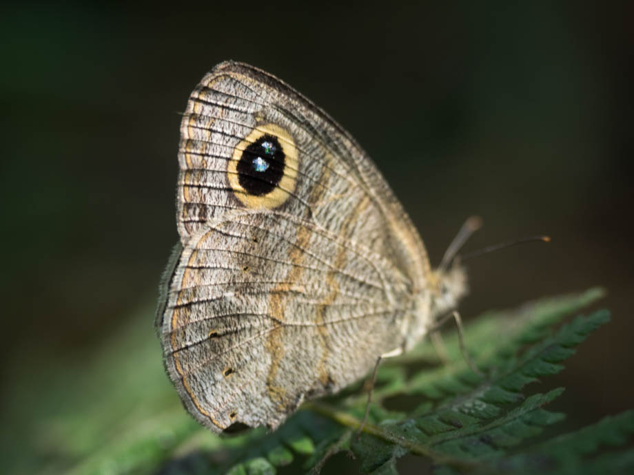 butterfly in pokhara