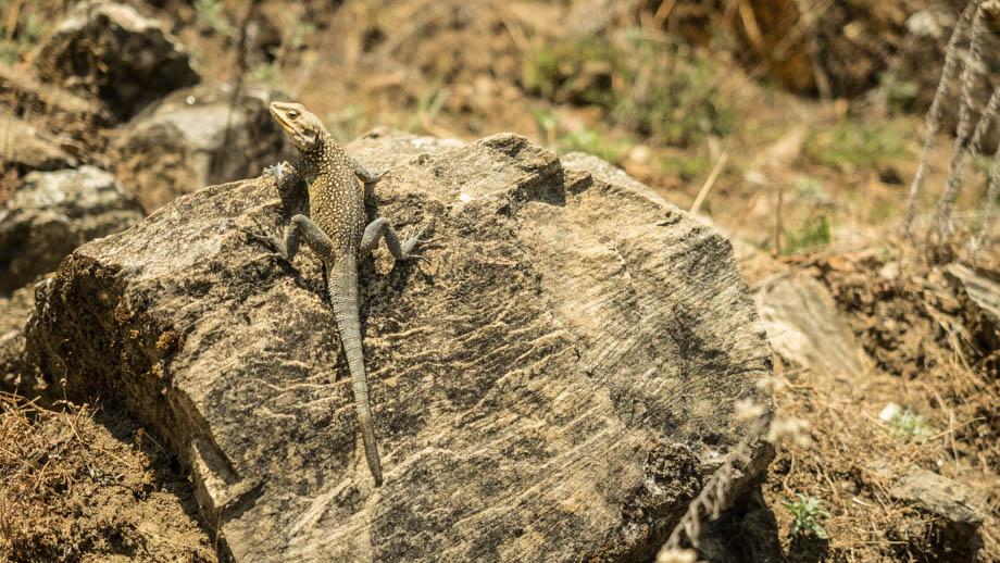 Chomrong lizard