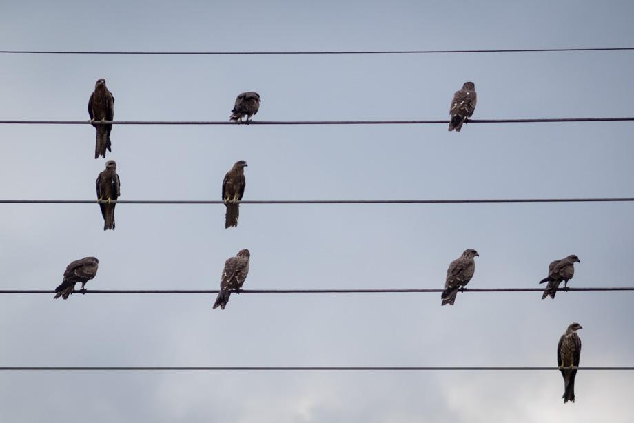 Black kites in Kathmandu