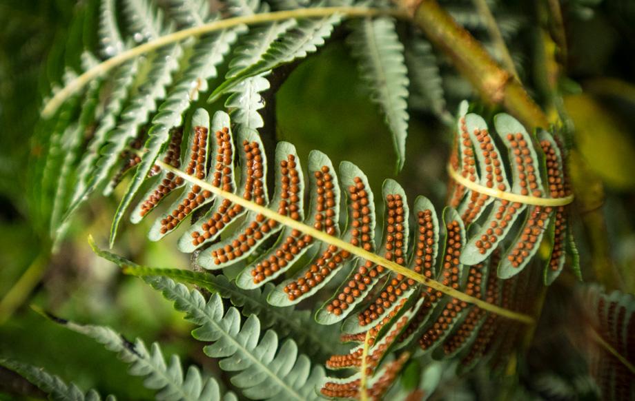 fern sporangium