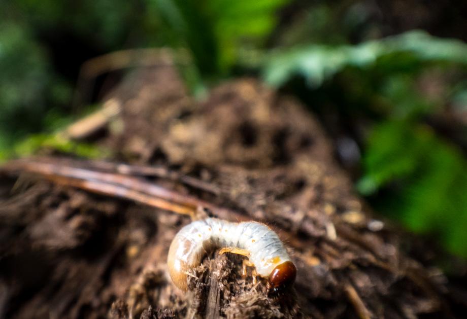 A grub worm