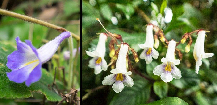 Henckelia flowers