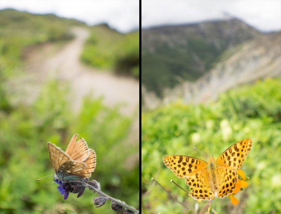 Meadow blue butterfly