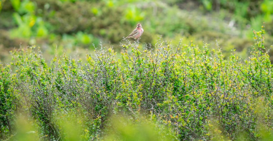 Himalayan beautiful rosefinch