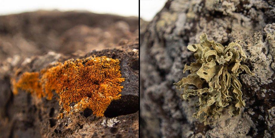 Firedot lichen