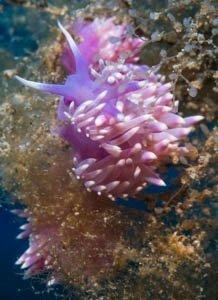 Mediterranean violet aeolid