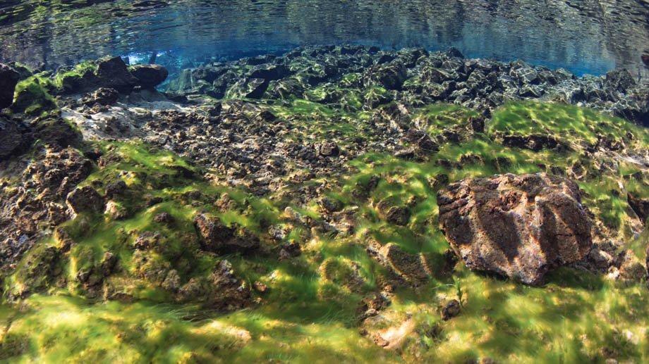 Dark stonewort algae