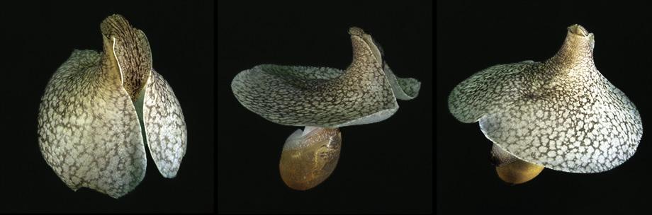 Royal flush sea slug